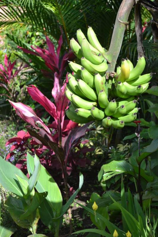 Bananas throughout gardens