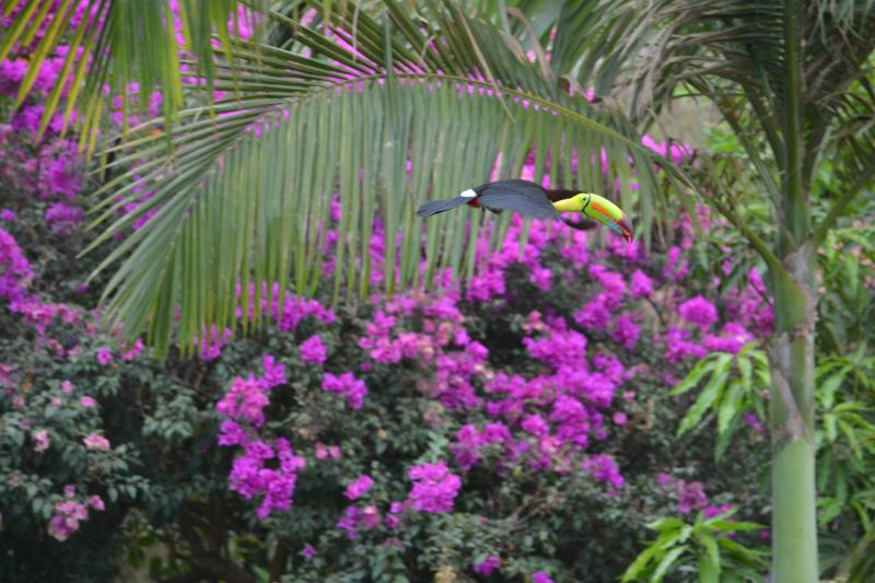 Toucans love to eat the ripe palm seeds