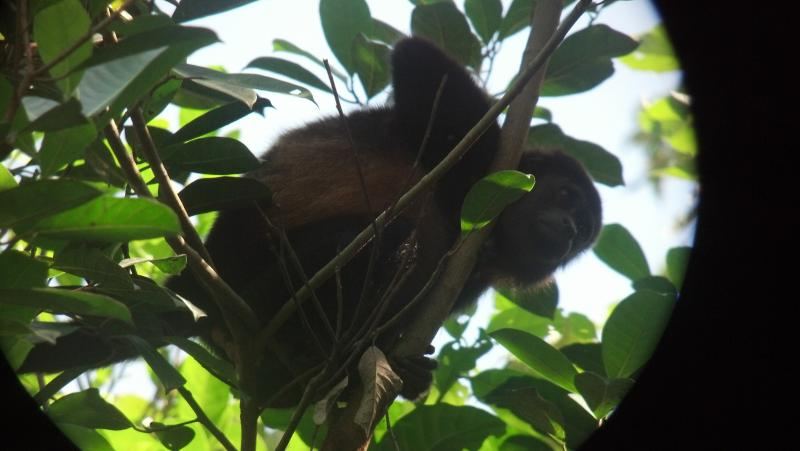 Hear the amazing sounds of this Howler monkey from the deck.
