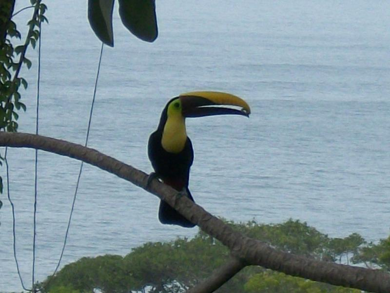 Strikingly colorful toucan enjoys a snack.