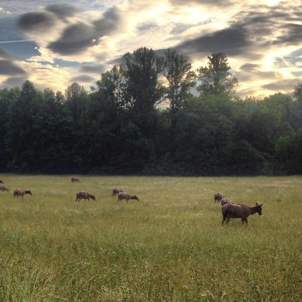 Elk grazing in the fields of The Oconaluftee Visitors Center in Cherokee