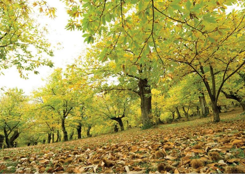 chestnut trees at two steps from the House