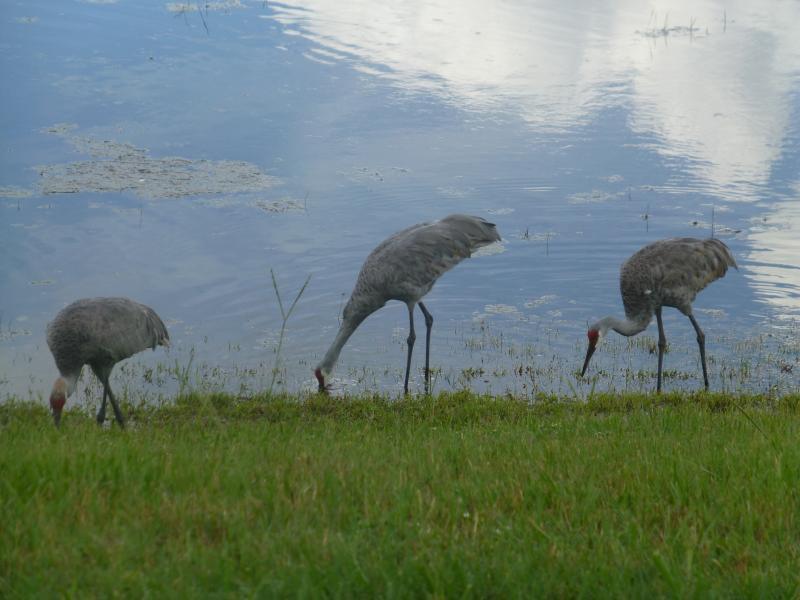 Sand Cranes at the rear of Villa