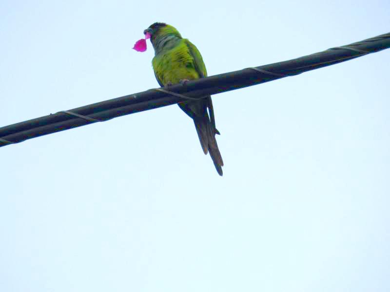 Green parrot in the garden presenting a flower to his bride.