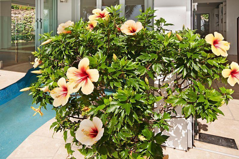 One of our famous Hibiscus shrubs