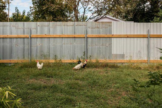 Resident wild chickens.