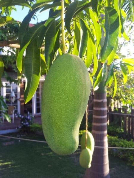 The sweet East Indian Mango coming into maturity