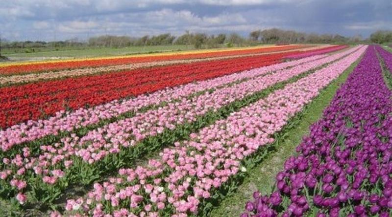 campos de tulipanes cerca de la antorcha