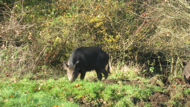 Wild boar can be found all over he forest including in our local woods.