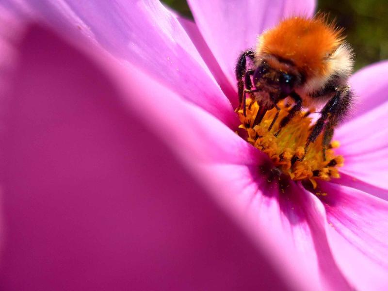 Une abeille bien remplie dans notre pré de fleurs sauvages