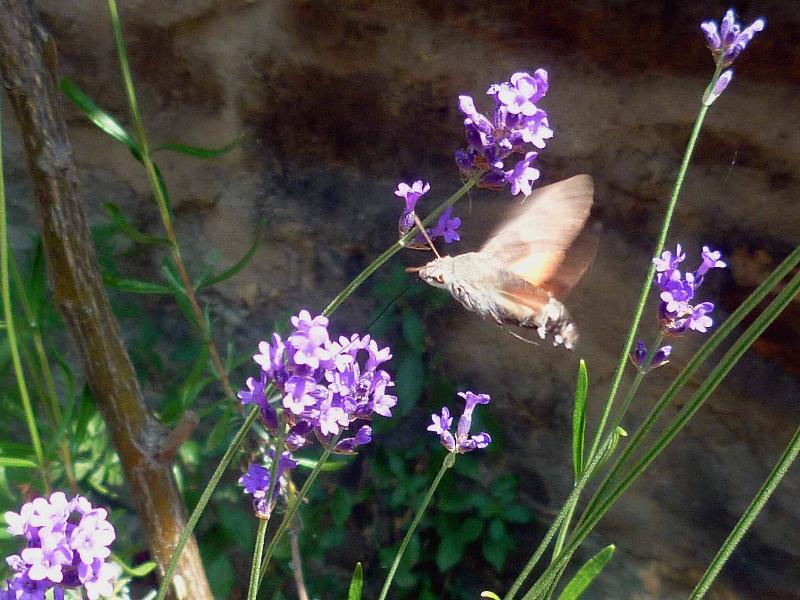 Colibri papillon sur lavande