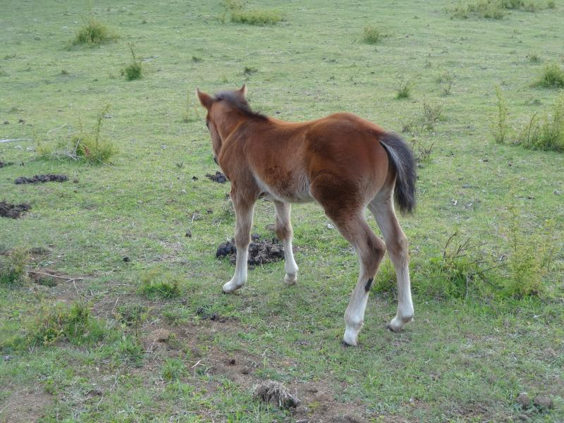 Our Baby Horse, Cubanito.