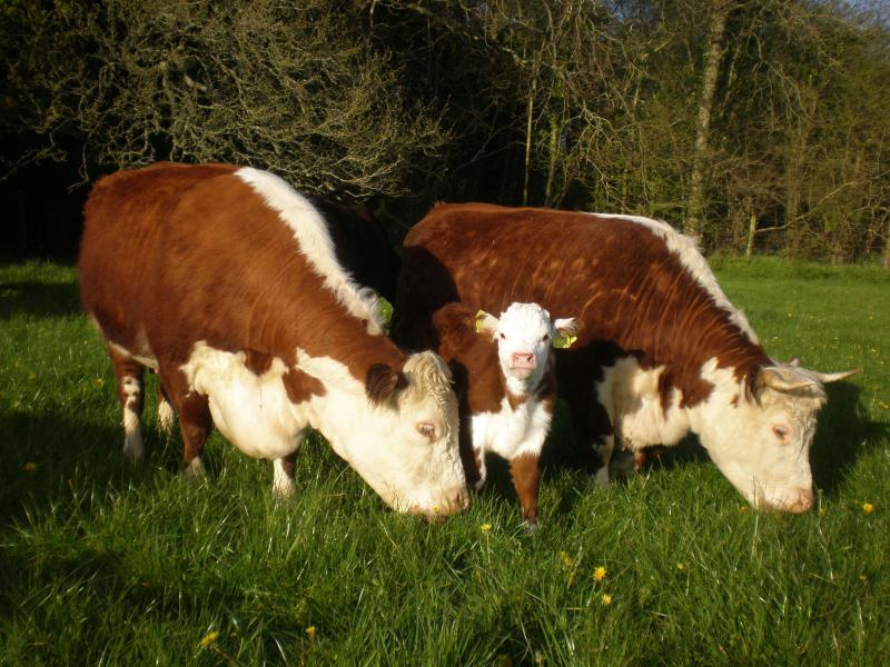 These are our rare breed Hereford Cattle