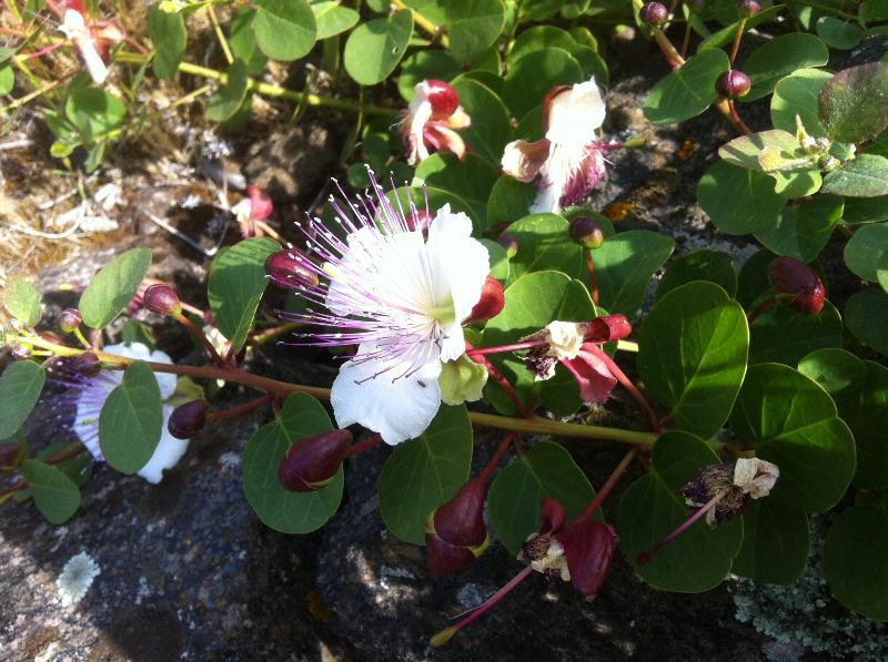 Flor da alcaparra