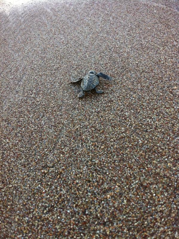 A baby sea turtle hatchling reaches the sea!