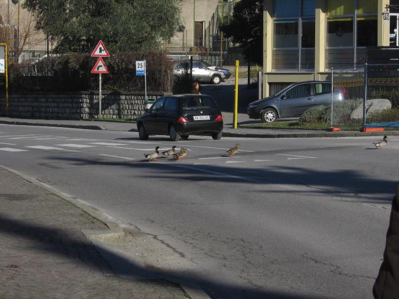 ducks crossing main road in Sale