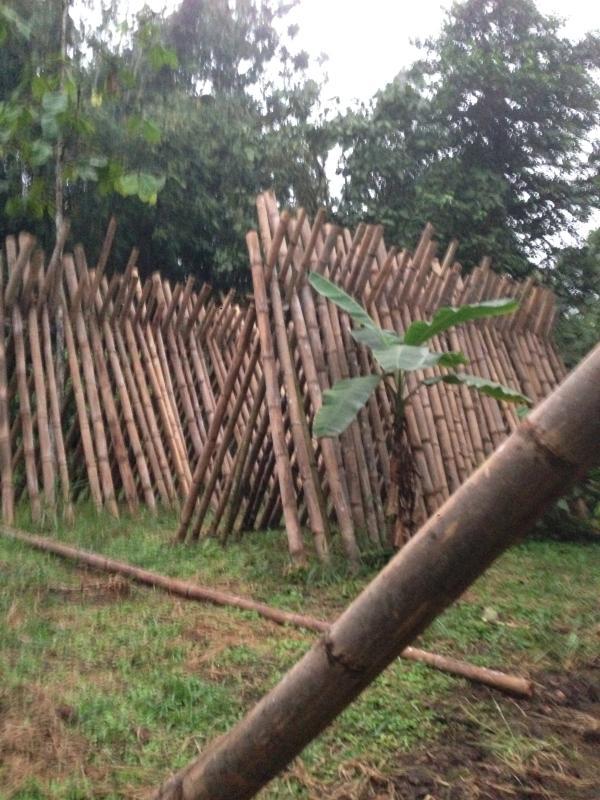 proceso de bambú en la granja