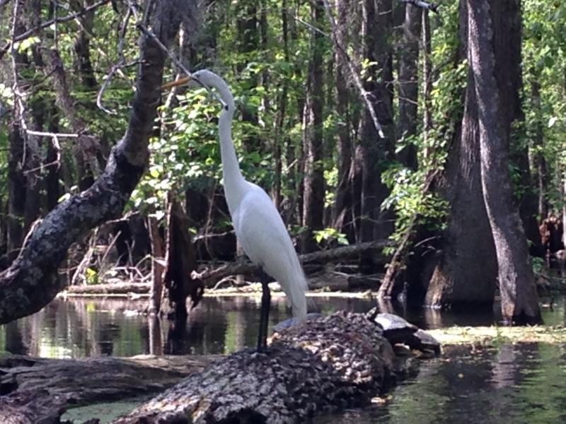 Garza blanca grande en el río