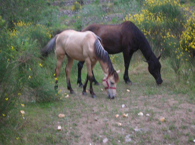 Cavalli allo stato brado nei prati vicino alla casa