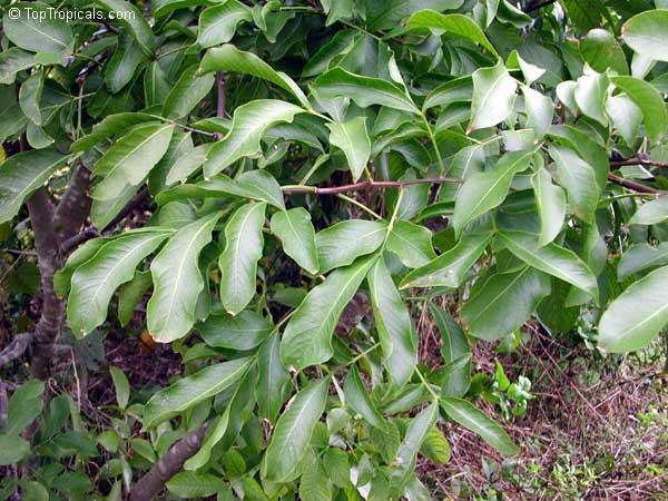 Quenepa tree on the patio
