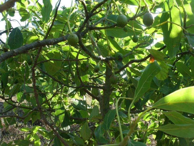 Avocado trees on the patio
