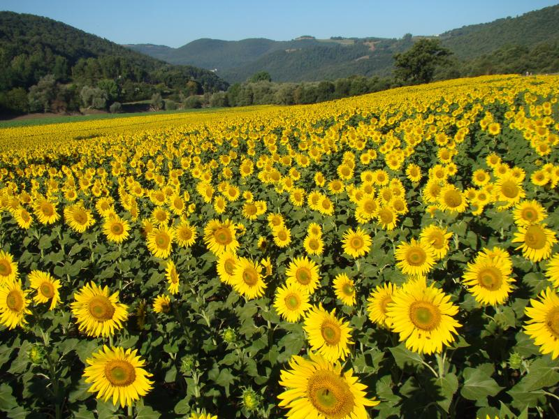 Sunflowers in the Tiber river valley
