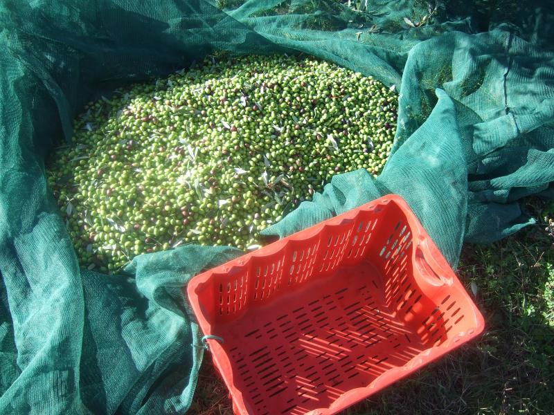 Olive harvest at Villa Sogno