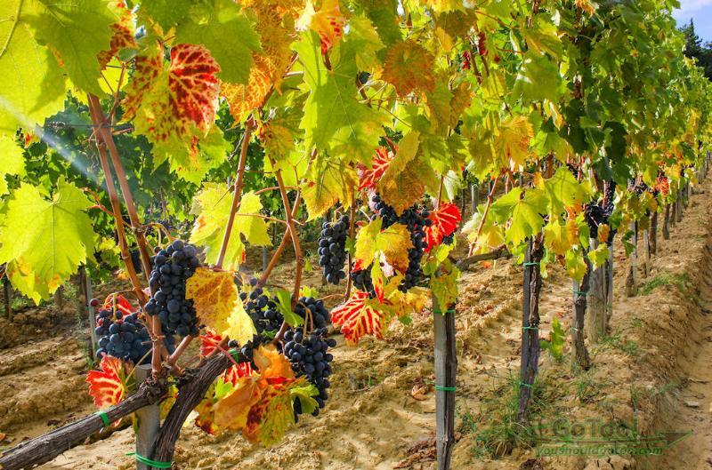 Visit the vineyards of Tuscany