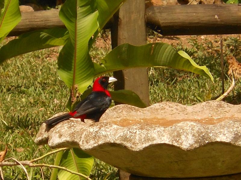 Scarlett Tananger at the bird bath. One of the more than 450 species that can be sighted in Belize.