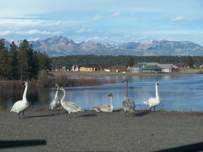Swans at Pagosa Lake