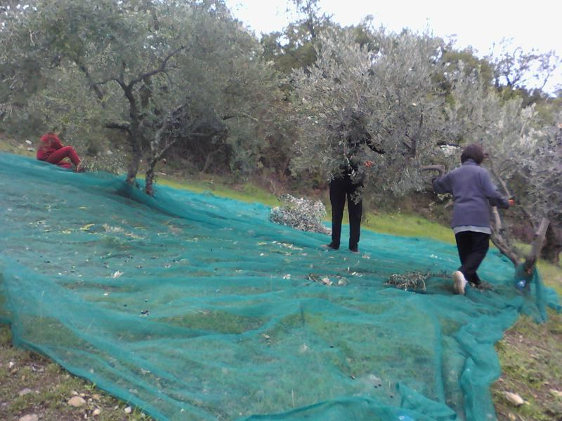 Olive harvest in November to produce our precious extra virgin olive oil