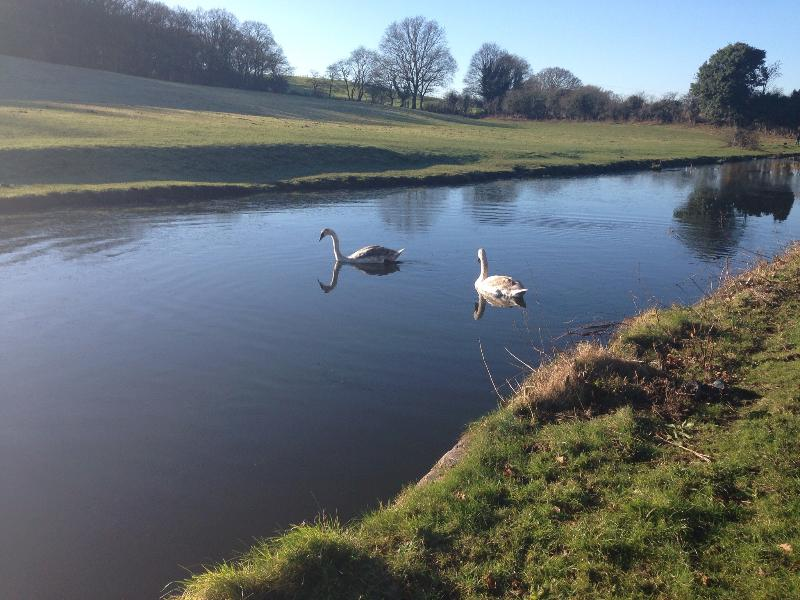 Swans in January