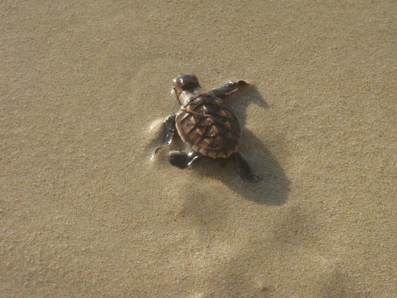 We can't guarantee you will see turtles as they nest and hatch at night but they are very cute