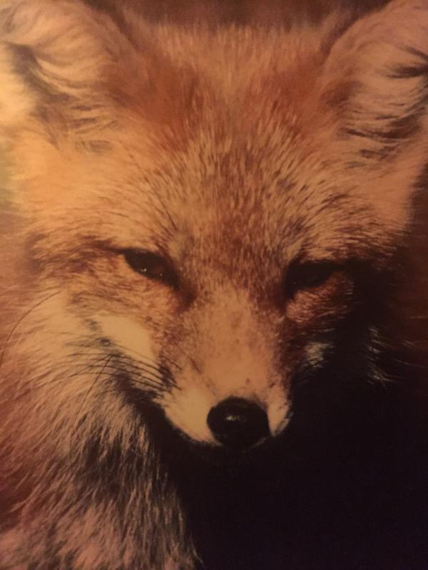 Photo of Fox in livingroom