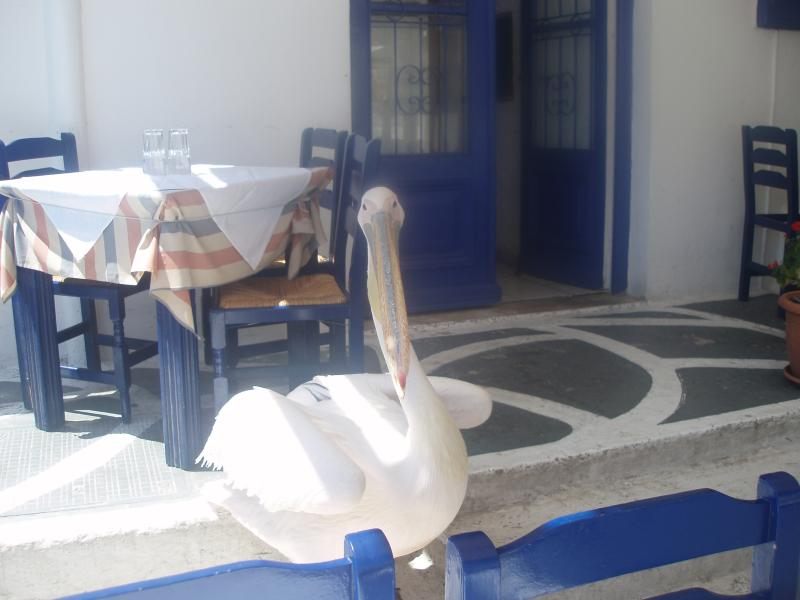 Peter the pelican roams the town streets
