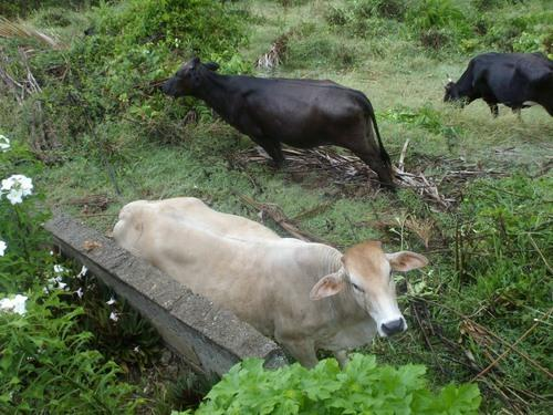 Cows grazing below the garden wall of the apartment