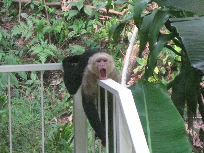 oui, des singes au visage blanc viennent nous rendre visite régulièrement