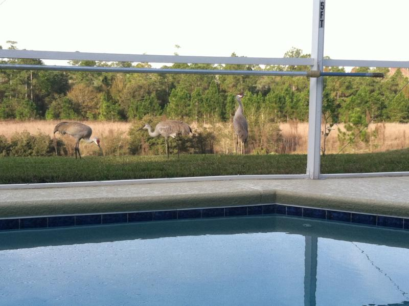 Unique visitors!  Sand Hill Cranes come for breakfast just outside the pool deck.