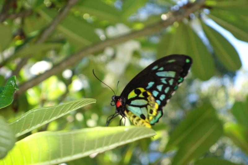 Euphorion papillon