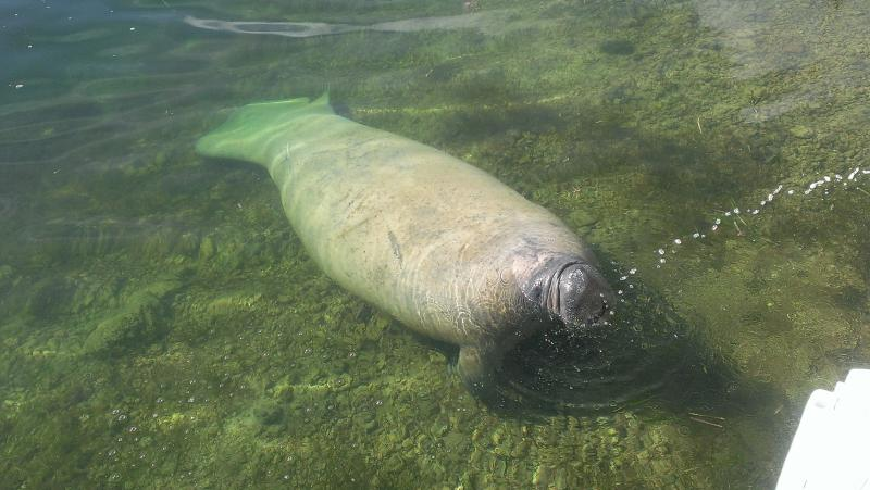 Manatees swim and relax in our backyard canal coming right up to the dock to say Hello!