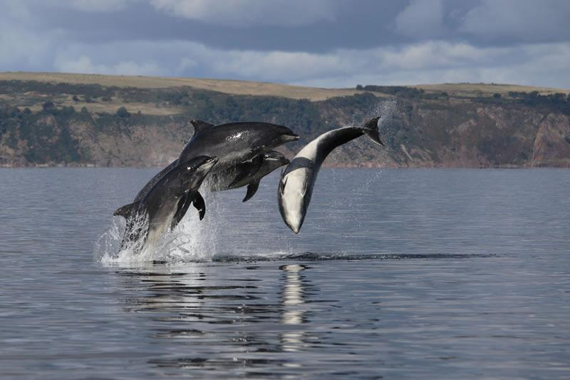 watch dolphins playing in the Moray Firth at Cullen