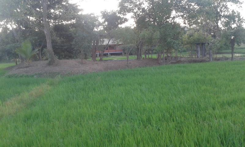 Front view from the rice fields