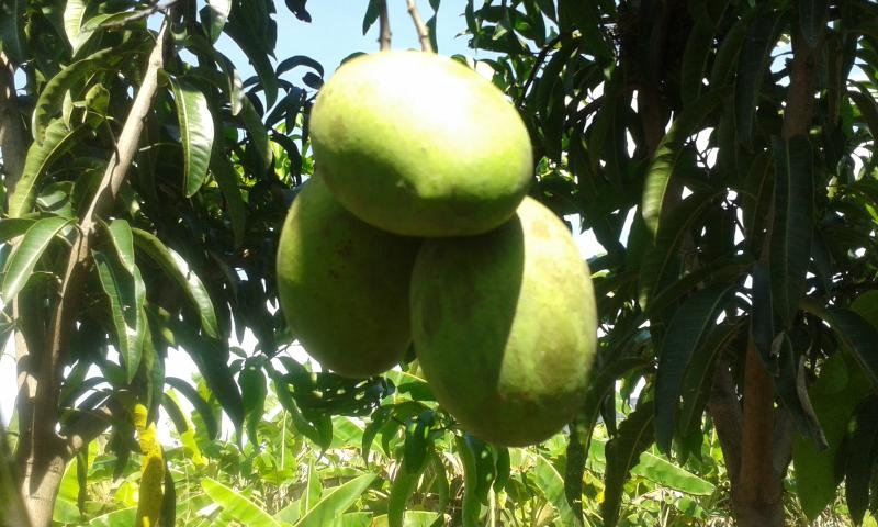 Alphonso Mango from the land for exports and local consumption