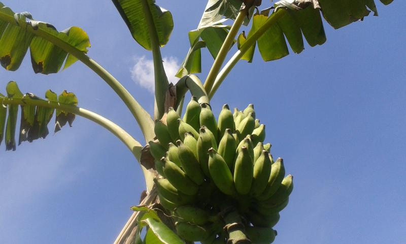 Banana from the land for exports and local consumption