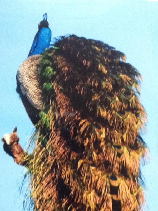 Sri Lankan peacock - a resident of the land