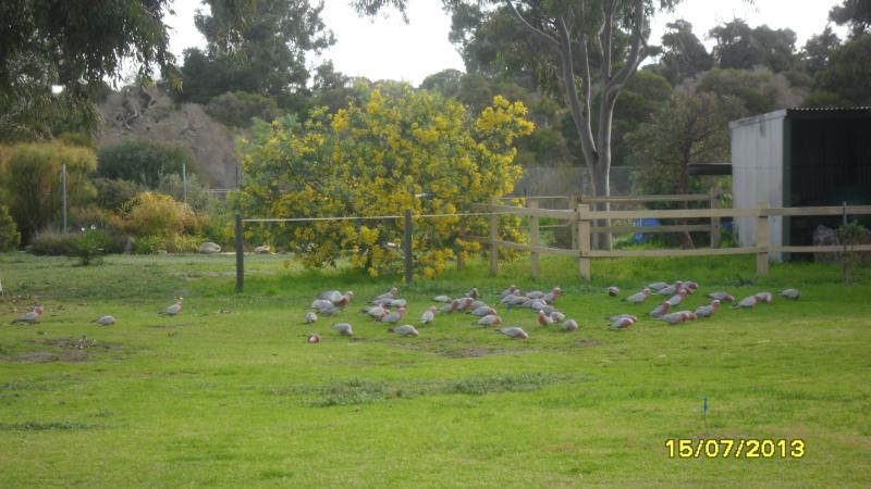 Galahs on our property