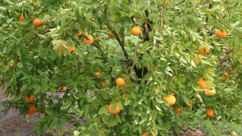 One of our citrus trees