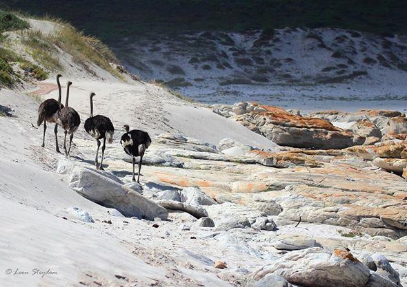 Ostrich on beach in Cape Point