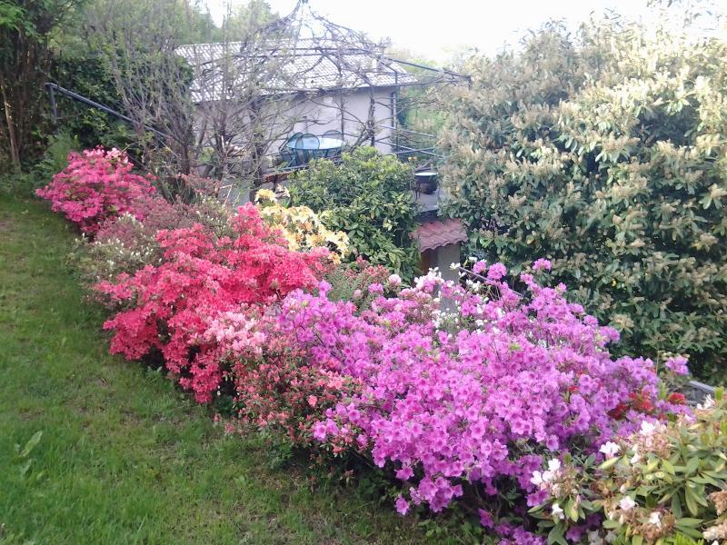 Le azalee e i rododendri in primavera