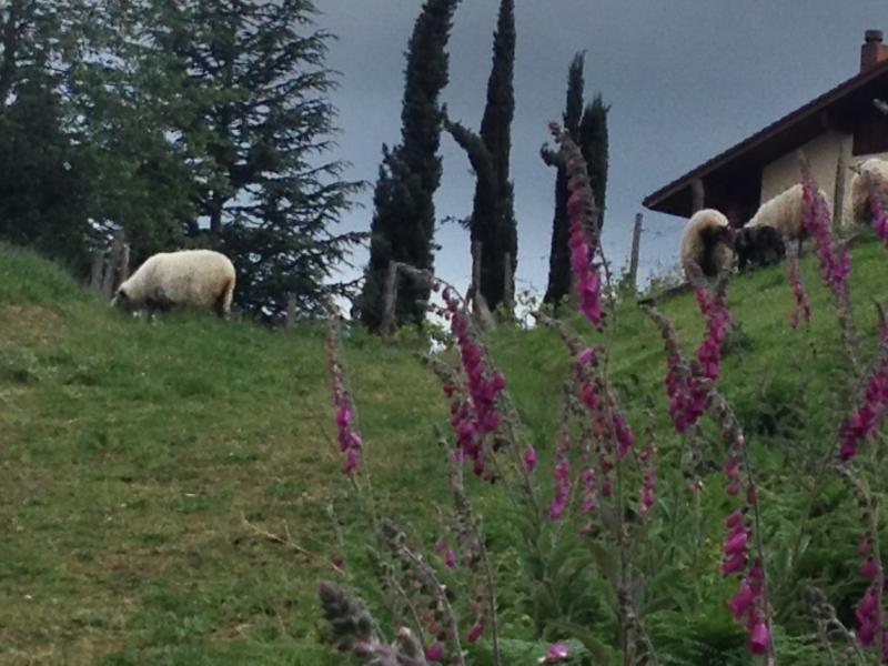 Le troupeau de moutons paissant près de la maison. Campanillas lilas : printemps.